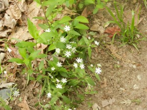 Great Falls NP Chickweed