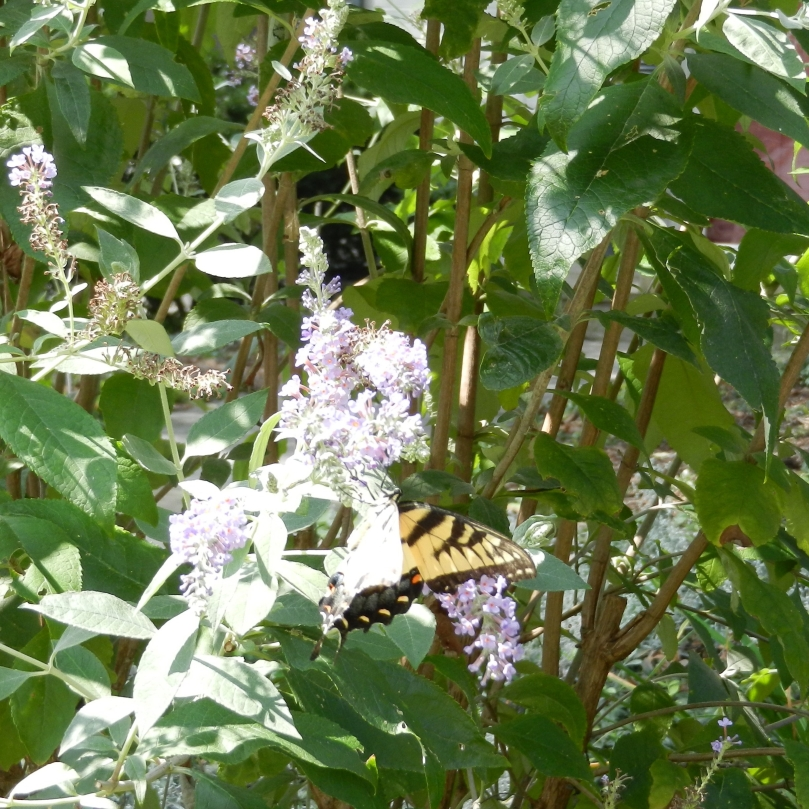 Butterflies_03