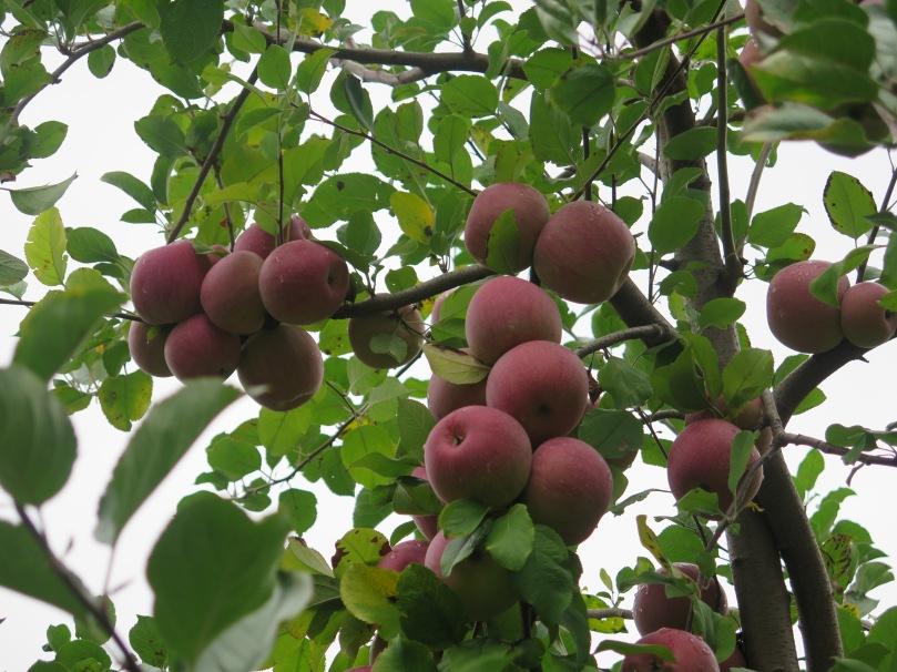 New Jersey apple picking (7)